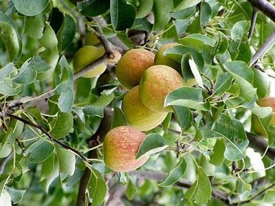梨树有58个当地品种和80多个内地引进的优良品种,尤以当地品种库尔勒